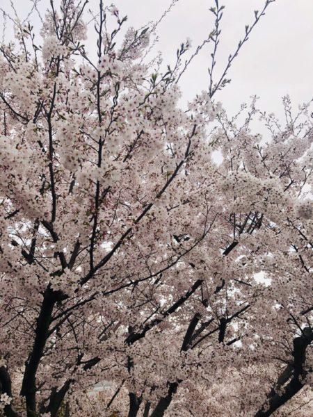 満開の桜 1