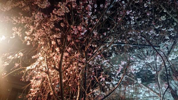 枝垂桜とソメイヨシノ