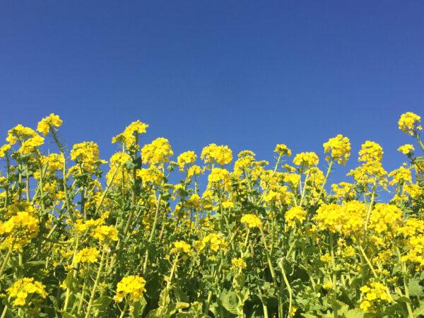 青空と菜の花畑 1