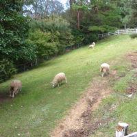 草を食べる羊 2