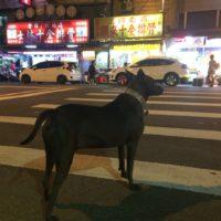 かっこいい犬in台湾