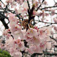 桜 近距離