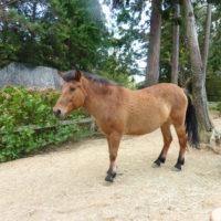 小さい馬ポニー 1