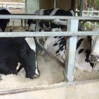 牧場 牛舎の牛 1