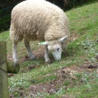 草を食べる羊 1