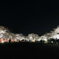 万博記念公園の夜桜
