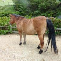 小さい馬ポニー 3