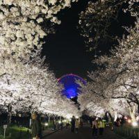 夜桜と観覧車