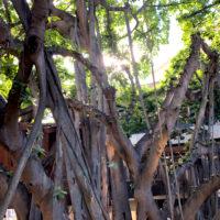 バニヤンツリーの木