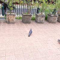 鳩の後ろ姿