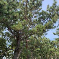 須磨海浜公園の松 1