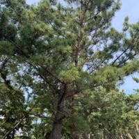 須磨海浜公園の松 4