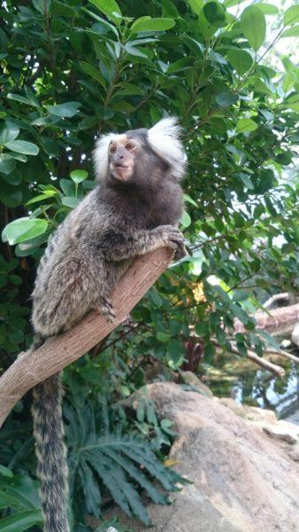 小柄な猿 コモンマーモセット