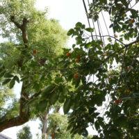 柿の木と果実
