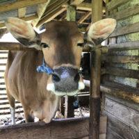 バリの牛 5