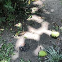 地面に落ちたマンゴー