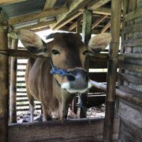 バリの牛 3