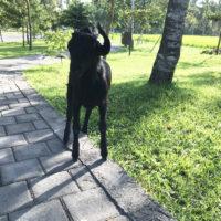 山羊(黒) 2
