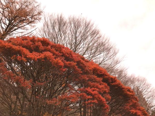 六甲山の紅葉 3