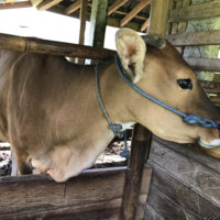 バリの牛 6