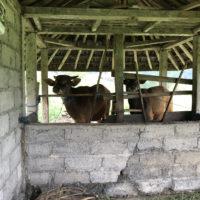 バリの牛 1