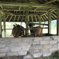 バリの牛 2