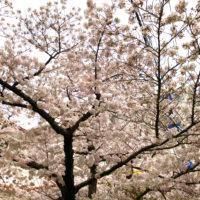 路地の桜 2