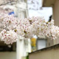 路地の桜 1