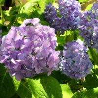 紫色のアジサイ(紫陽花)
