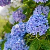 青色のアジサイ(紫陽花)