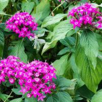 紫色のバーベナの花 1