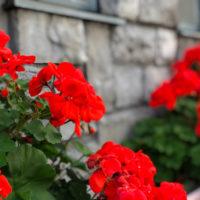 赤い花ゼラニウム 1