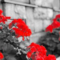 赤い花ゼラニウム 2