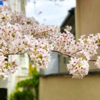路地の桜 3
