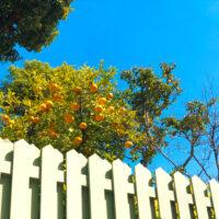 柵から見える柑橘系の何か