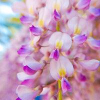 藤の花 2