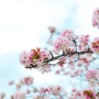 桜の枝と青空 2