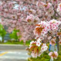 垂れる枝から咲く桜
