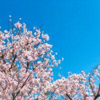 桜の枝と青空 3