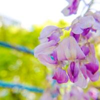 藤の花 6