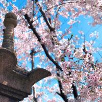 神社の灯籠と桜 1