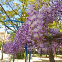 藤の花 4