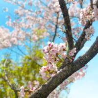 枝の分かれ目から咲く桜